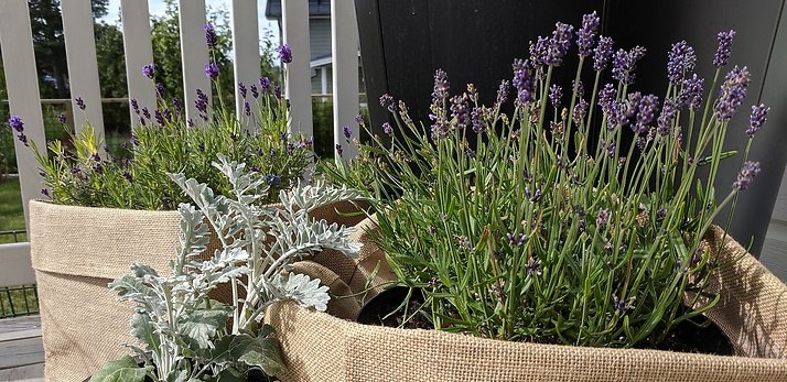 Trädgårdsdesign - Lavendel