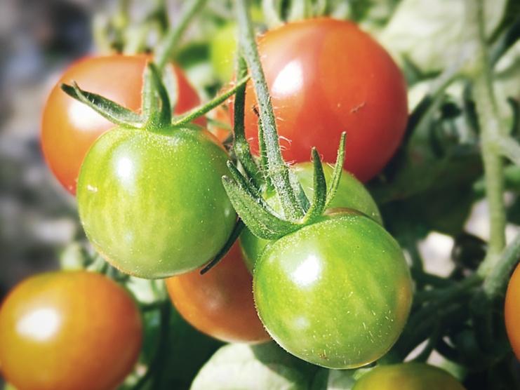 Trädgårdsdesign - toppa tomater
