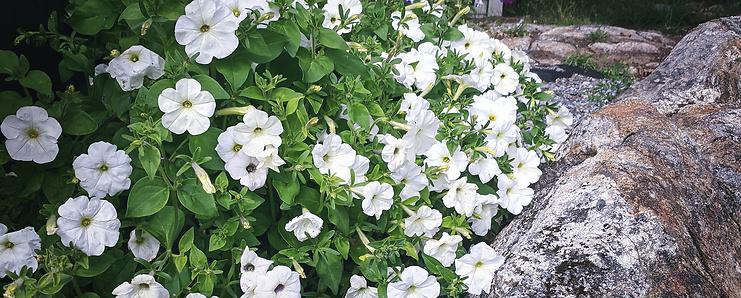 Trädgårdsdesign - Petunia