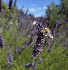 Lavendel pollinerare
